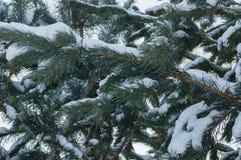 Ветви ели Стоковое Фото