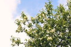 Ветви зацветать вишни птицы Стоковая Фотография RF