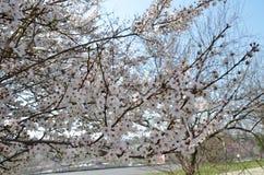 Ветви зацветая вишневого дерева стоковые фото
