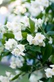 Ветви зацветая куста жасмина около дома Стоковое Изображение