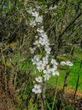 Ветви зацветая слив вишни в предыдущей весне в саде стоковая фотография