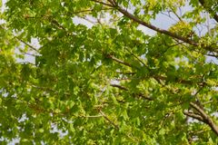 Ветви зеленого дерева в лете на солнечный день Стоковые Фотографии RF