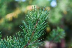 Ветви зеленого конца-вверх сосны иглы spruce Предпосылка ветвей рождественской елки стоковое изображение