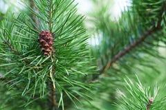 Ветви зеленого конца-вверх сосны иглы spruce Предпосылка ветвей рождественской елки стоковая фотография