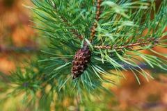 Ветви зеленого конца-вверх сосны иглы spruce Предпосылка ветвей рождественской елки стоковые изображения