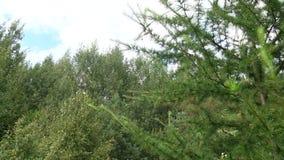 Ветви зеленого цвета дерева лиственницы Хворостины и листья завода Larix сток-видео