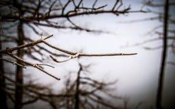 Ветви зимы Стоковая Фотография