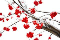 Ветви золы горы Стоковое Изображение RF