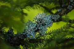 Ветви игл сосны с мягко зеленым цветом Стоковые Изображения RF