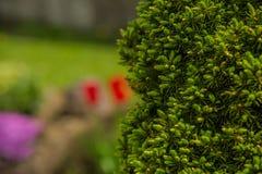 Ветви игл сосны с мягко зеленым цветом Стоковое фото RF