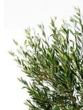 ветви изолировали оливковое дерево Стоковые Фото