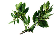 2 ветви листьев лавра залива Стоковые Фото