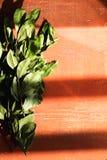 Ветви листьев залива лавра на красном цвете Стоковая Фотография