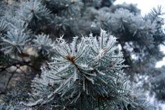 Ветви и иглы сини елевые предусматриванные с заморозком Стоковые Фотографии RF