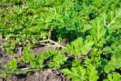 Ветви и листья арбуза растя в поле или саде Стоковые Фотографии RF