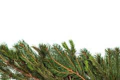 Ветви и конусы ели на белой предпосылке Стоковые Изображения RF
