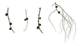 Ветви и конусы лиственницы Стоковая Фотография