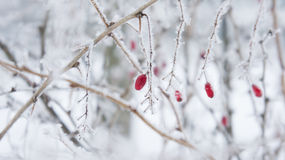 Ветви и ягоды барбариса в заморозке Стоковые Фотографии RF