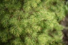 Ветви канадского елевого Conica Стоковое Изображение RF