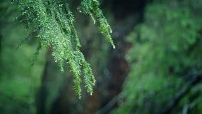 Ветви капая в осадках леса сток-видео