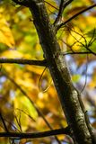 Ветви каштана в зеленом цвете каштана сезона падения выходят, творческая картина предпосылки Стоковые Фотографии RF