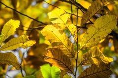 Ветви каштана в зеленом цвете каштана сезона падения выходят, творческая картина предпосылки Стоковые Изображения