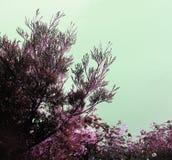 Ветви кедра Стоковые Изображения RF