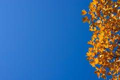 Ветви клена с оранжевыми листьями backhander стоковые изображения rf