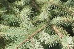 Ветви конца предпосылки елей весной Стоковые Фотографии RF