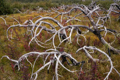 Ветви, который сгорели кустарников любят щупальца Стоковое Изображение RF