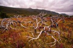 Ветви, который сгорели кустарников любят щупальца Стоковое Изображение