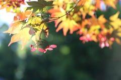 Ветви красного клена - предпосылка Стоковое Изображение RF
