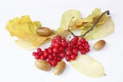 Ветви красных зрелых изолированных жолудей schisandra и дуба Стоковое Изображение