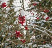 Ветви красных ягод рябины в лесе зимы Стоковое Изображение