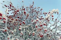 Ветви красных ягод рябины в снеге Стоковая Фотография RF