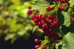 Ветви красных ягод Guelder розового или opulus калины кустарник Стоковые Фото