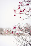 Ветви красных ягод opulus калины предусматриванных в снеге Стоковое фото RF