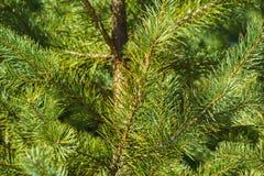 Ветви крупного плана сосны Стоковая Фотография
