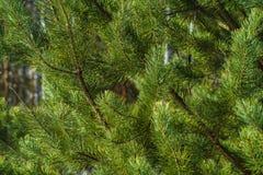 Ветви крупного плана сосны Стоковое Фото