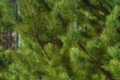 Ветви крупного плана сосны Стоковые Фотографии RF