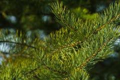 Ветви крупного плана сосны Стоковое Изображение RF