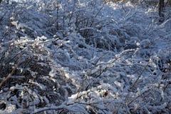 Ветви куста покрытые снегом Стоковые Изображения