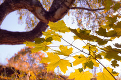 Ветви клена в лесе осени Стоковые Изображения
