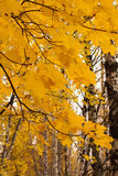 Ветви клена в лесе осени Стоковая Фотография