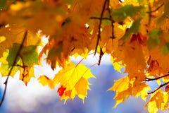 Ветви клена с желтыми листьями Стоковые Изображения