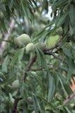 Ветви миндального дерева Стоковая Фотография RF