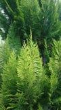 Ветви можжевельника Стоковое Изображение RF