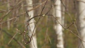 Ветви молодого дерева березы отпочковываются весна природы конец вверх сток-видео