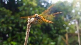 Ветви муфты Dragonfly стоковая фотография