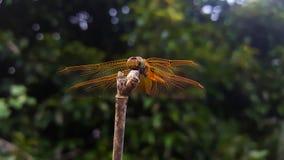 Ветви муфты Dragonfly Стоковые Фотографии RF